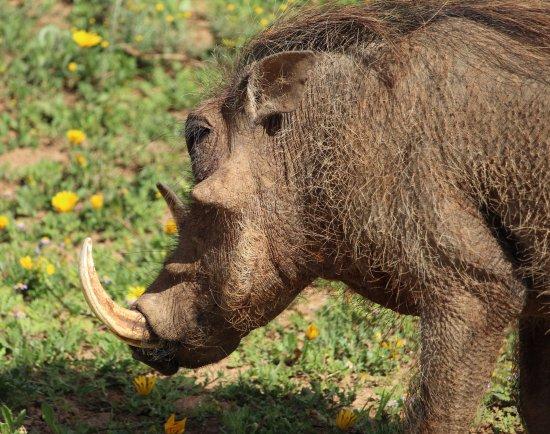 Addo Elephant National Park, Sudáfrica: facocero
