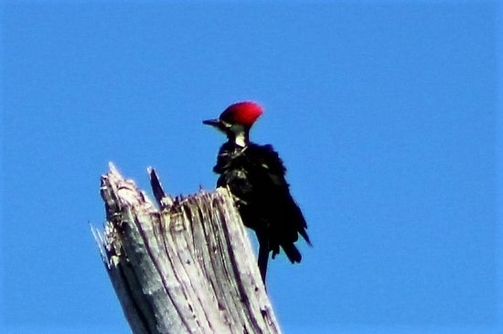 Captain Randys Fishy Business: Pileated woodpecker on North Captiva(Hylatomus pileatus)