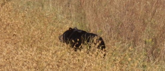 Manteo, NC: Bear