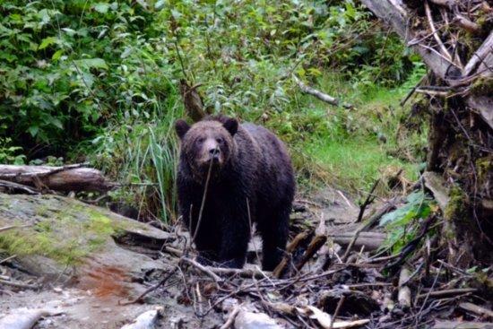 Campbell River, Καναδάς: One of the many bears that we were lucky enough to encounter