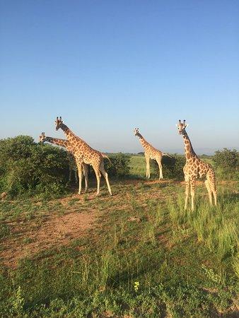 Murchison Falls National Park, ยูกันดา: safari