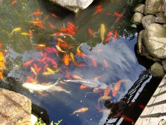 Dahlonega, GA: Koi pond