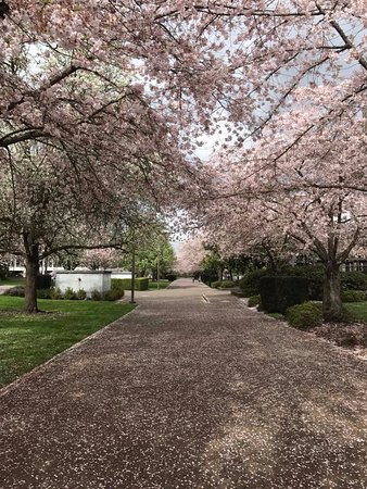 Salem, OR: Cherry trees