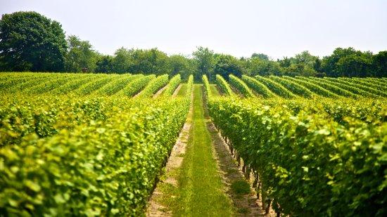 Gold Coast, Australia: vineyard
