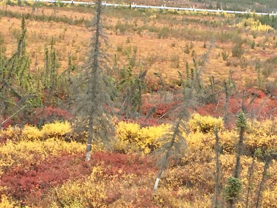 Coldfoot, AK: The colorful foliage with the pipeline in the background