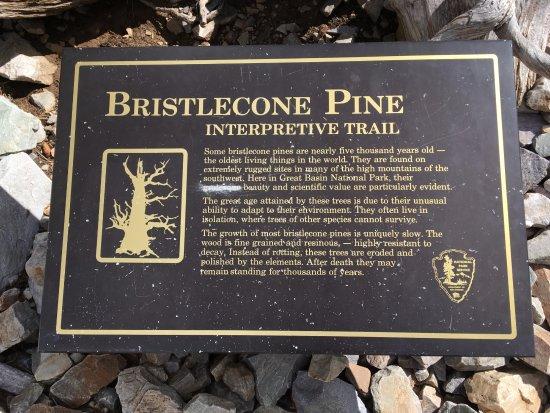 Baker, NV: Bristlecone Pine trail