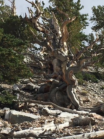 Baker, NV: Oldest tree