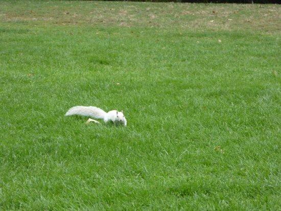 Bunker Hill : White Squirrel