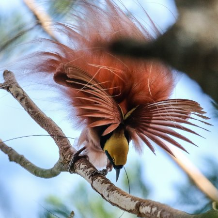 Port Moresby, Papua New Guinea: Reggiana Bird of Paradise is the emblem of Papua New Guinea.
