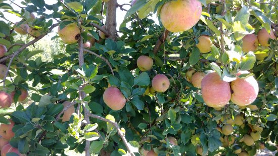 Paris, KY: Lots of apples to pick