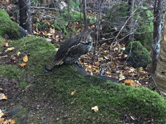 Keltic Lodge Resort & Spa: Male grouse along Middle Head Trail.