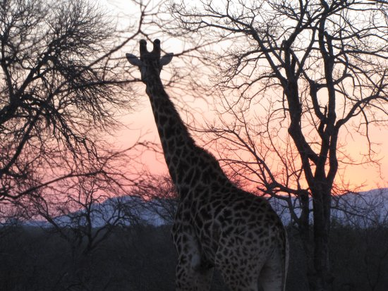 Monwana Game Lodge: Doctor wanted a photo of a giraffe walking through the sunset -here it is