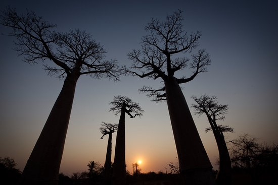 Avenue of the Baobabs: Baobab avenue at sunset