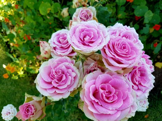 Fouriesburg, Güney Afrika: Roses to die for