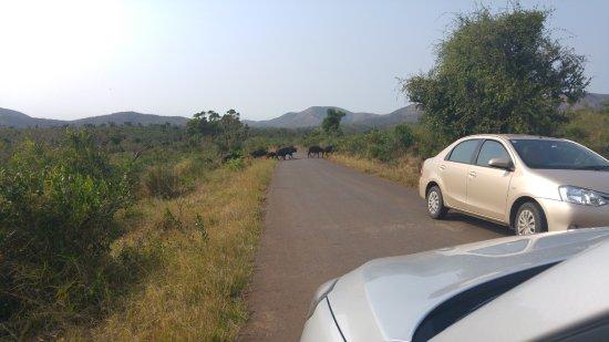 Zululand, Sør-Afrika: Büffelherde