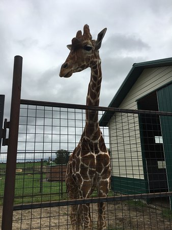 Freeport, MN: giraffe