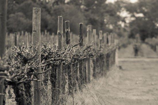 Coonawarra, Australia: Cabernet Sauvignon vines