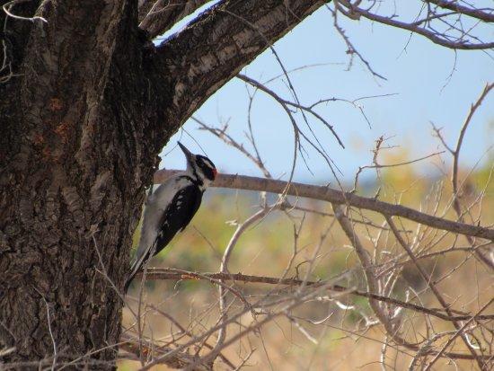 Trinidad, Kolorado: Hairy Woodpecker in Trinity Lake Park