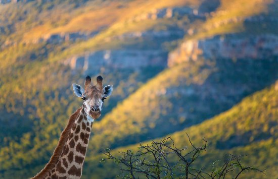 f5911b1eeb8 Giraffe in golden light - Picture of Samara Private Game Reserve ...