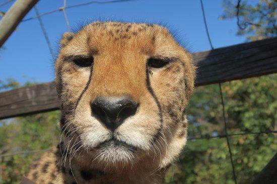 Mukuni Big 5 Safaris: 一緒に散歩してくれたチーターです