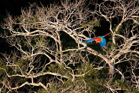 Madre de Dios Region, Perú: A macaw seen from the top of our canopy tower, where you can see the Amazon above the canopy