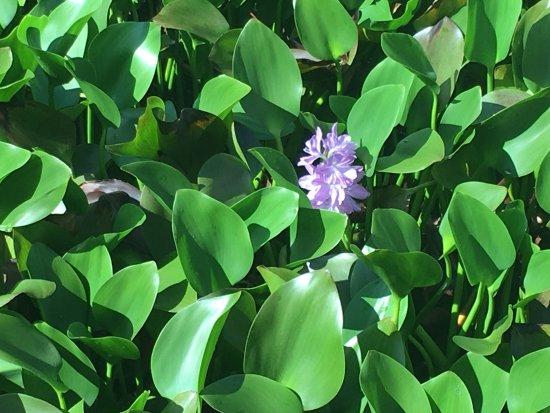 Sepilok, Malaysia: fiorile laghetto