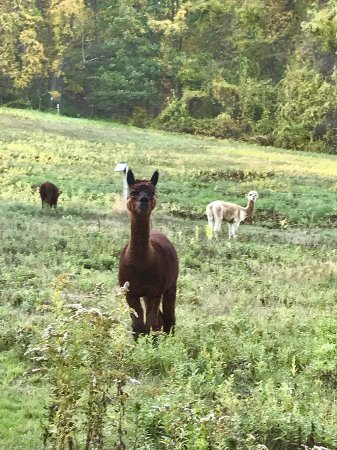 West Mountain Inn: There are Llama's on the property!