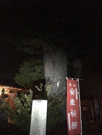 Japanese Zelkova Tree of Mitsugi Shrine