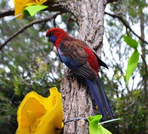 Killarney, Australia: Parrot at cafe-Rosella