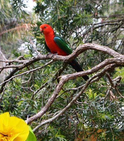 Killarney, Australia: Parrot at Cafe -King parrot