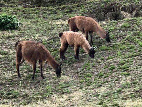 Provincia de Pichincha, Ecuador: llamas everywhere