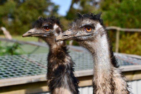 Cowes, Australia: Wildlife Park Emus