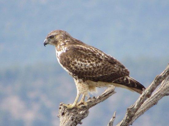 Las Vegas, Nuevo Mexico: Hawk