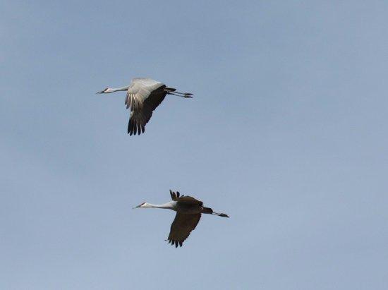 Maxwell, NM: Sandhill cranes
