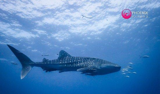 Phoenix Divers: Whale Shark at Chumphon Pinnacle Dive site, Koh Tao