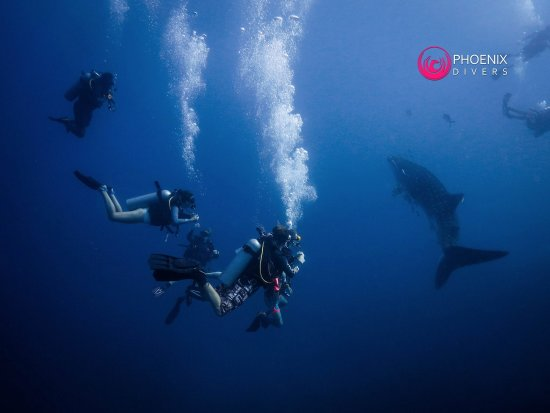 Phoenix Divers: Lucky Open Water Divers with a Whale Shark