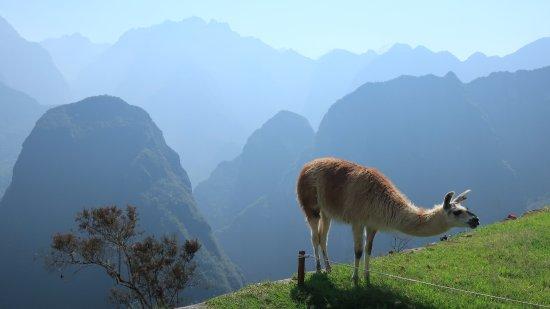 Lares Trek: One of many Lama's at Machu Picchu