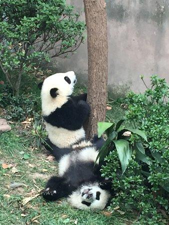 Panda Valley: Baby pandas are very playful