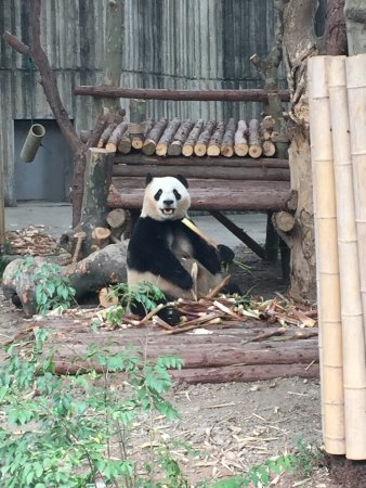 A giant panda eating bamboo
