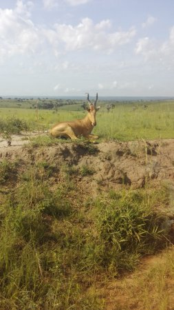 Entebbe, Uganda: Game drive in Murchison falls National Park
