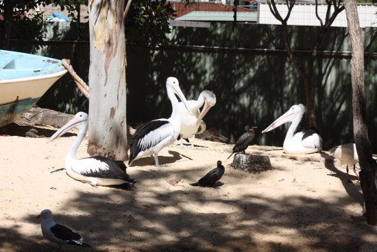 Blacktown, Australia: Pelicans enjoying a beautiful day.