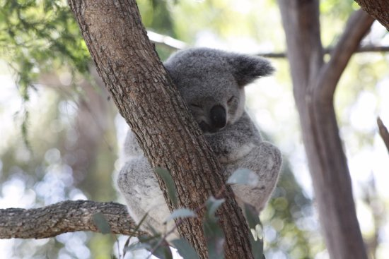 Blacktown, Australia: Koala taking a snooze.