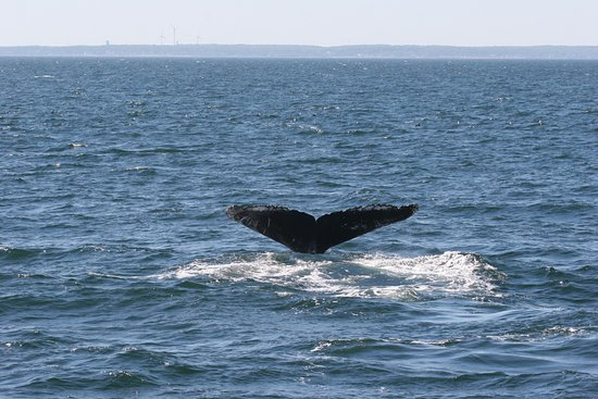 Capt Bill & Sons Whale Watch: Beautiful creatures.