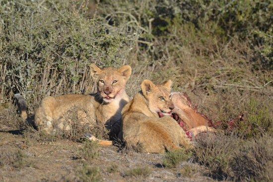 Kwandwe Private Game Reserve, Sudáfrica: Inte varje dag man får se två söta lejonungar äta frukost.