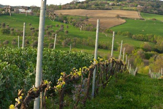 Scansano, Italien: vigneti in primavera