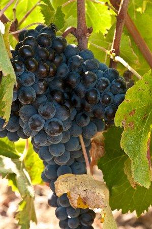 Scansano, Italien: Un grappolo di Sangiovese poco prima della vendemmia