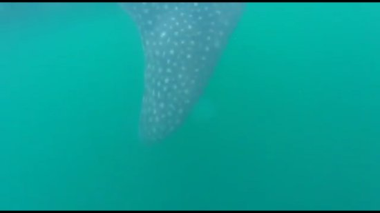 EcoColors - Day Tours : Swimmi with whale sharks