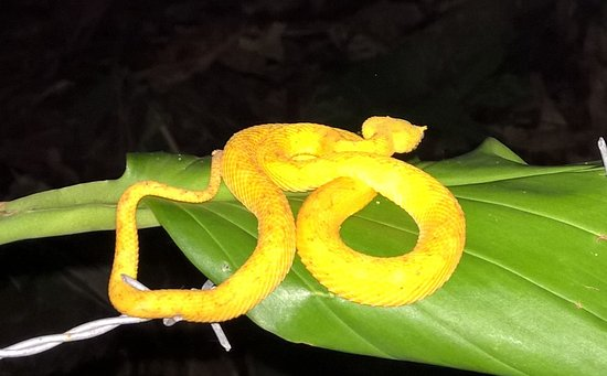 Cahuita, คอสตาริกา: Viper