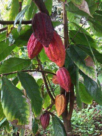 Kilauea, Hawaï: Cacao pods and papayas