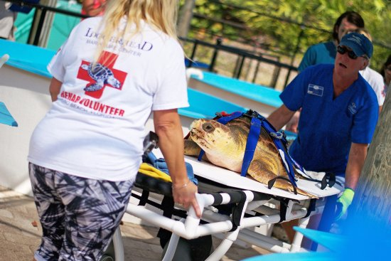 Juno Beach, FL: Sea Turtle patient with rehabilitation staff